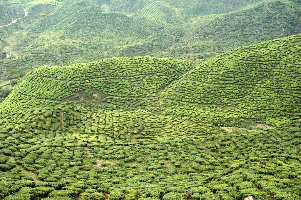 One of the Tea Plantations in Cameron Highlands
